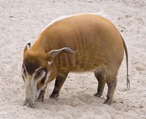 picture of the wild boar