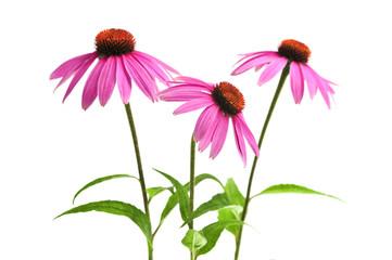 Blooming medicinal herb echinacea purpurea or coneflower Wall mural