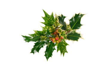 Three type of holly with fruit isolated on white