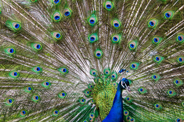 blue and green male peacock showing his tail