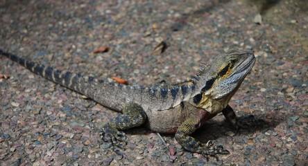 Lizard at the Australian park