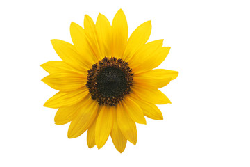 Yellow sunflower isolated on white background.
