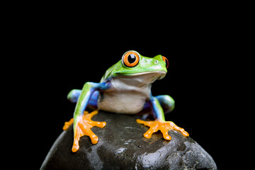 frog on a rock closeup and isolated on black
