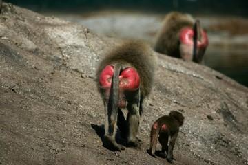 fesses de babouins