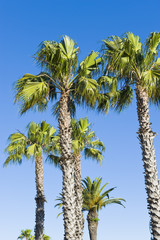 Beautiful green palm trees etched against a blue sky.