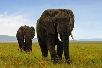 Two adult african elefants walking in savannah