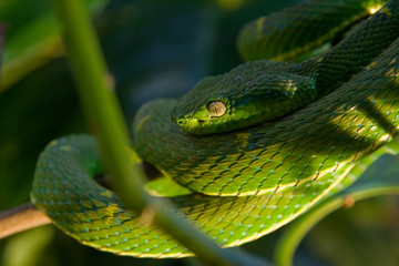 the poisonous green viper on a tree