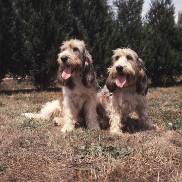 couple de grand basset griffon vendéen