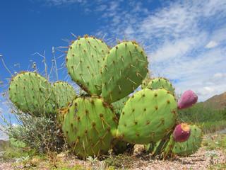 Arizona Desert Cactus of Opuntia Genus with Red Fruits