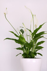Peace lily flower against a white background