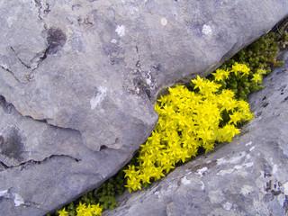 flore sauvage des Pyrénées