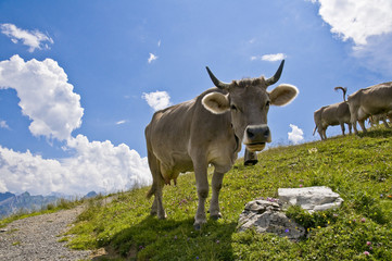 swiss cows eating on green grass