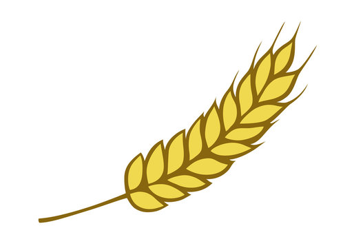 Golden wheat isolated on white