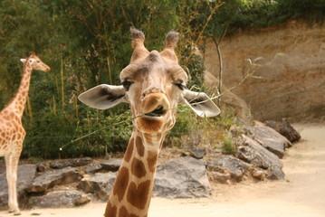 Ugly Giraffe