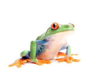 frog closeup isolated on white - a red-eyed tree frog