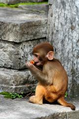 monkey in temple in kathmandu, nepal