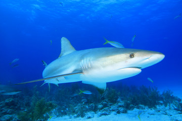 Shark in blue water with coral reef behind