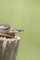 This Grahm's crayfish snake was photographed in central Kansas.