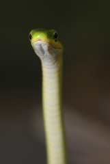 A rough green snake has the ability to stand straight up