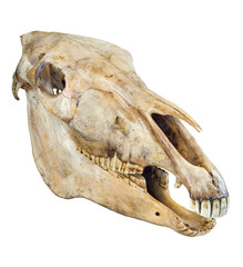 Skull of a horse on a white background