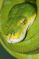 Close-up head shot of a Green Tree Python