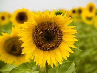 Sunflower close up on a background others sunflowers