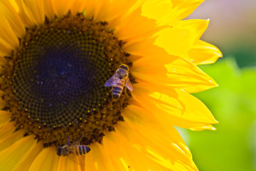 Bees on the sunflower close-up