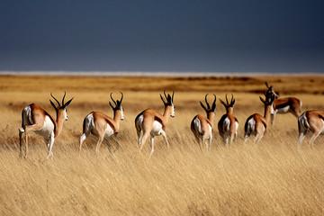 Springboks in Etosha Park - Namibia