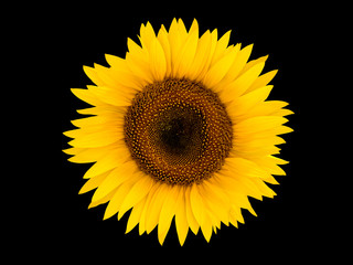 Bright sunflower isolated on a black background