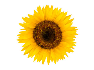 Bright sunflower isolated on a white background