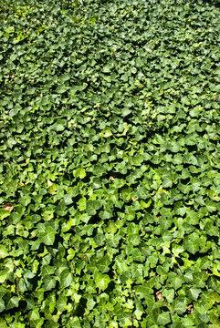 Ivy-clad wall