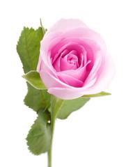 Macro shot of beautiful pink rose on white