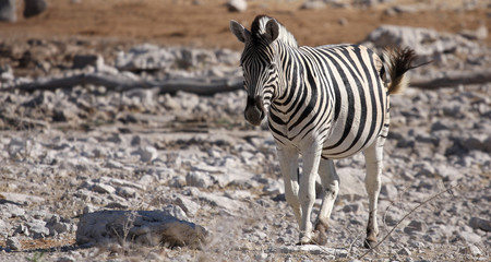 Zebra at the Etosha National Park