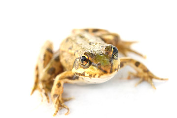 little frog close-up isolated on white background