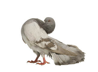 Rock Pigeon in front of a white background