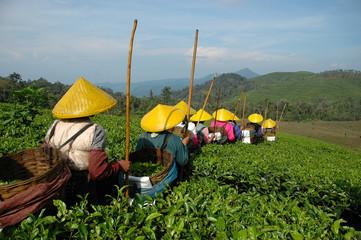 Fotobehang Indonesië tea plantation