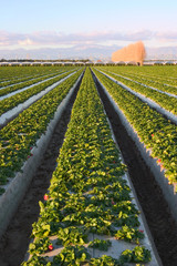 A field of Strawberries in southern California.
