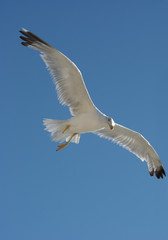 Seagull without one leg flying over blue sky
