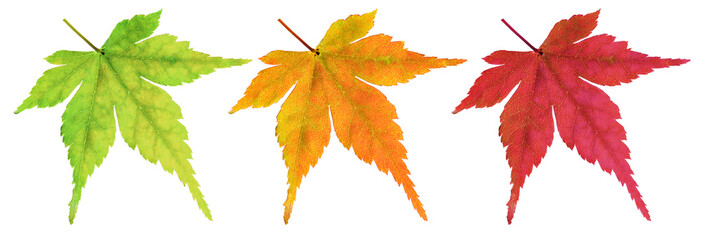 Maple leaves leaves in the changing colors of autumn.