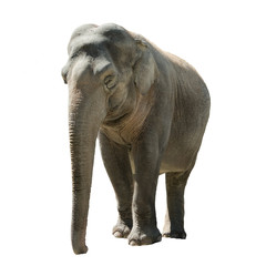 Front view of isolated female indian elephant
