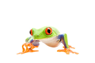 frog walking closeup isolated on white - a red-eyed tree frog
