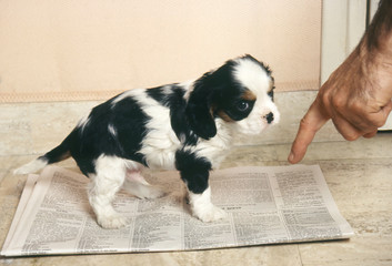 chiot cavalier king charles sur journal