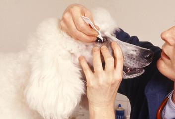 vétérinaire mettant des gouttes dans les yeux d'un chien
