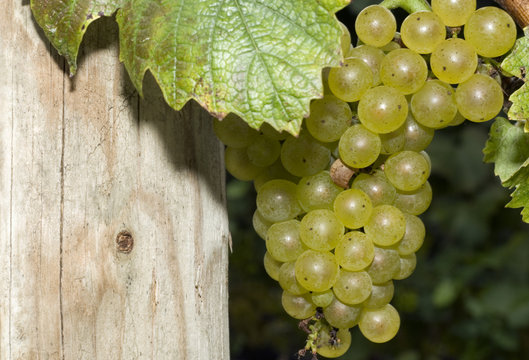 Chardonnay Grapes Just Before Harvest