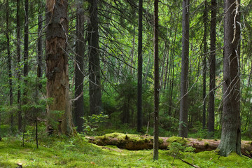 Papiers peints Forets Depths of the softwood forest at summer, Seliger lake, Russia