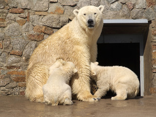 White bear and its cubs in zoo