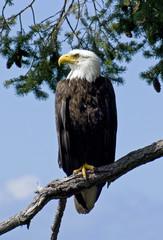 Proud Wild Bald Eagle Parent 1