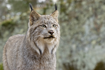 Aluminium Prints Lynx Head shot ofd a Canadian Lynx. Northern Minnesota