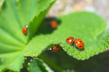 Five ladybirds on green leaves