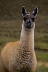 alpaca baby